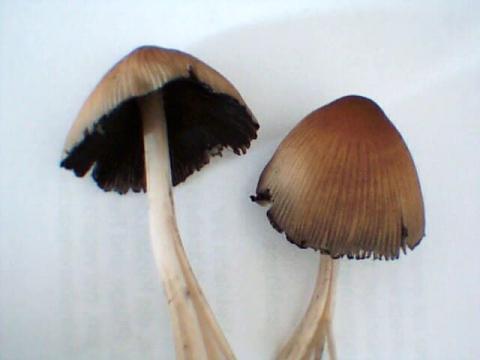 pilze im eigenen garten gefunden giftig oder nicht natur nahrung. Black Bedroom Furniture Sets. Home Design Ideas