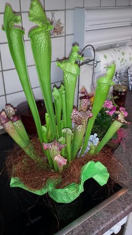sarracenia leucophylla fleischfressende schlauchpflanze. Black Bedroom Furniture Sets. Home Design Ideas