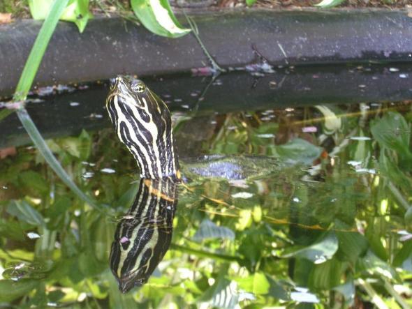 Schildkr te zugelaufen unterkunft im gartenteich teich for Larven im teich