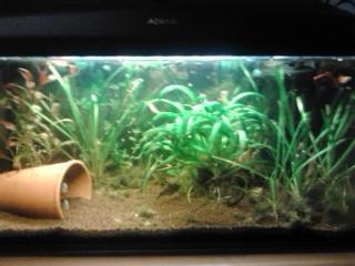 starker algenwuchs im aquarium warum zierfische aquaristik fische. Black Bedroom Furniture Sets. Home Design Ideas