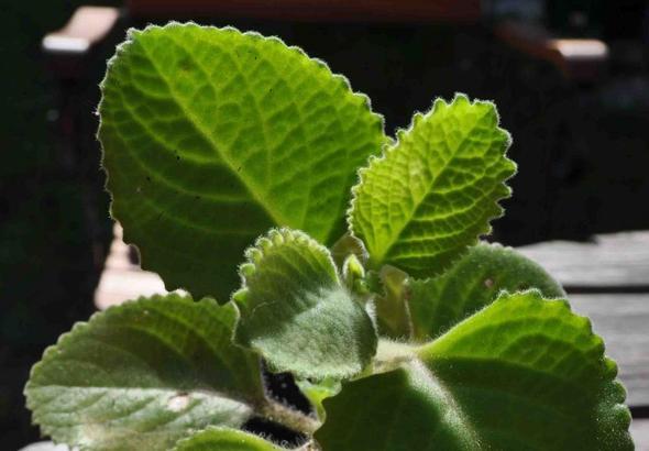 suche namen einer essbaren dickbl ttrigen behaarten pflanze aus vmtl asien kr uter essbar. Black Bedroom Furniture Sets. Home Design Ideas