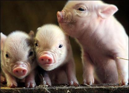 teacup schweinchen gesucht tiere schwein. Black Bedroom Furniture Sets. Home Design Ideas