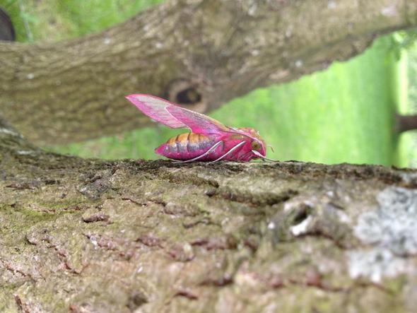 um was f r ein insekt handelt es sich bei diesem puppenf rmigen wesen mit rosa fl geln natur. Black Bedroom Furniture Sets. Home Design Ideas