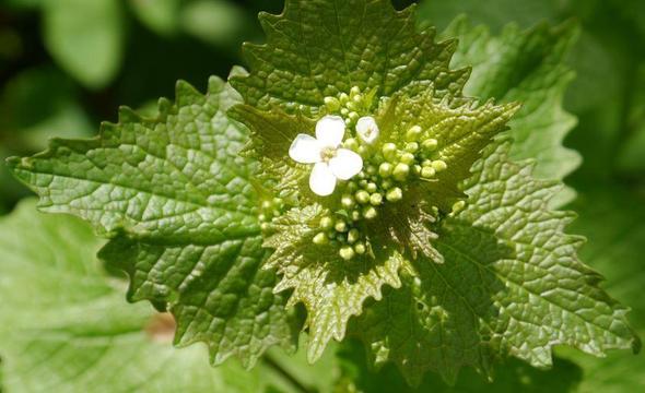 Unkraut Weiße Blüte : unkraut mit weisser bl te oder was ist es garten pflanzen ~ Lizthompson.info Haus und Dekorationen