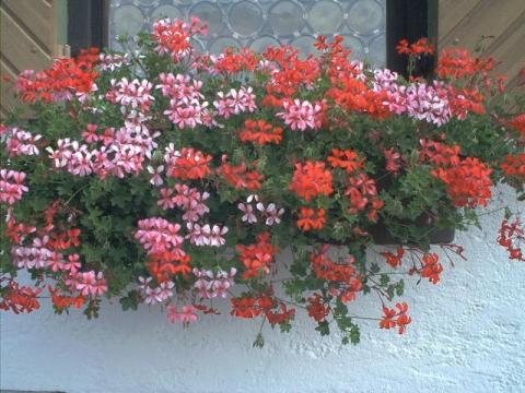 unterschiedliche geranien wie lautet die bezeichnung garten balkonpflanzen. Black Bedroom Furniture Sets. Home Design Ideas