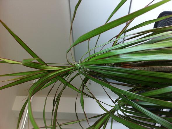 warum l sst dieser drachenbaum die bl tter h ngen pflanze garten zimmerpflanzen. Black Bedroom Furniture Sets. Home Design Ideas