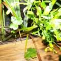 Was für eine Teichpflanze ist das ?