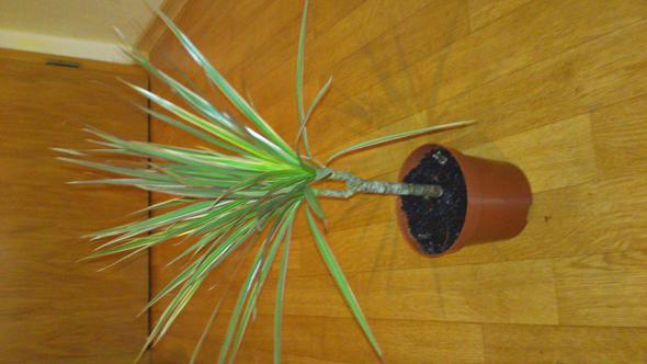 was ist das f r eine pflanze lange gr ne mit roten rand evtl palme pflanzen. Black Bedroom Furniture Sets. Home Design Ideas