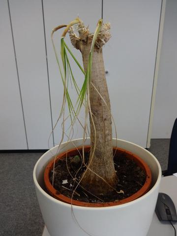 was ist das f r eine pflanze und wie kann sie gerettet werden pflege. Black Bedroom Furniture Sets. Home Design Ideas