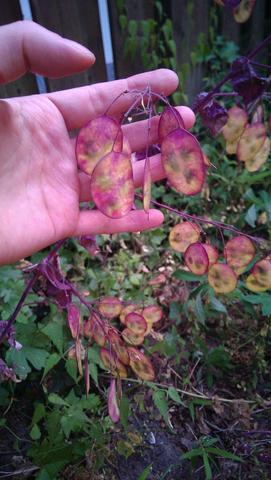 was ist das f r eine seltsame lila pflanze biologie garten pflanzen. Black Bedroom Furniture Sets. Home Design Ideas