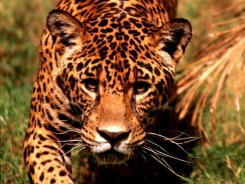 leopard gepard: