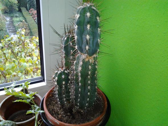 was sind das f r kakteen kaktusart kaktus. Black Bedroom Furniture Sets. Home Design Ideas