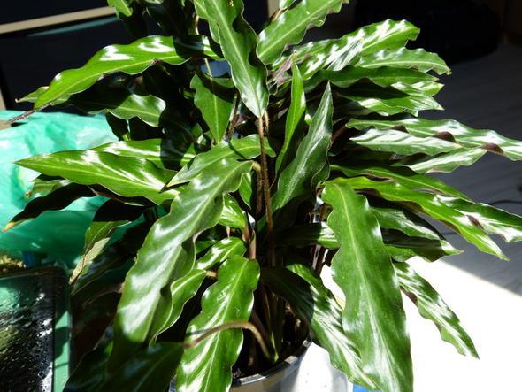 Welche pflanzen sind das gr npflanze zimmerpflanzen for Welche zimmerpflanzen