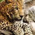 Welche Eigenschaften hat ein Leopard?
