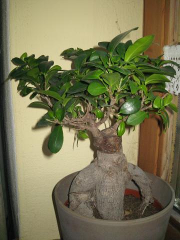 Ficus arten