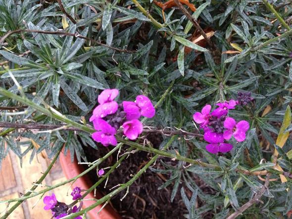 welche pflanze ist das bl ht violett seit mai bis heute blume garten zierpflanze. Black Bedroom Furniture Sets. Home Design Ideas