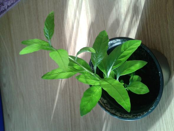 welche pflanze ist das m glicherweise plattpfirsich pflanzen pflanzenpflege pfirsich. Black Bedroom Furniture Sets. Home Design Ideas