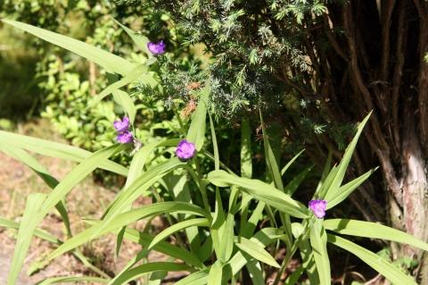 wie hei t diese unbekannte lila blume pflanzen blumenbestimmung bl hpflanze. Black Bedroom Furniture Sets. Home Design Ideas