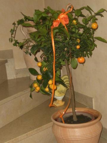 wie pflege ich mein mandarinenb umchen citrusgew chse. Black Bedroom Furniture Sets. Home Design Ideas