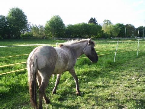 wie schwer darf der reiter sein wenn das pony 130cm gross ist pferde reiten. Black Bedroom Furniture Sets. Home Design Ideas