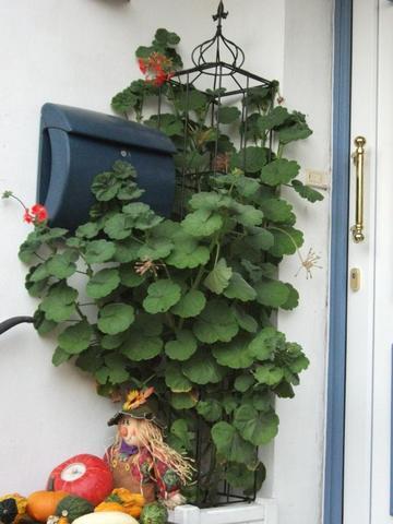 wie berwintere ich eine geranie pelargonie pflanzenpflege pflanzen pelargonie. Black Bedroom Furniture Sets. Home Design Ideas
