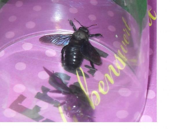 wie werde ich diese blaue holzbiene wieder los bienen insekten. Black Bedroom Furniture Sets. Home Design Ideas