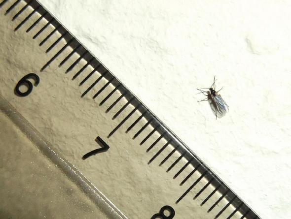 Woher kommen diese kleinen fliegen in unserem haus for Schwarze fliegen in der blumenerde