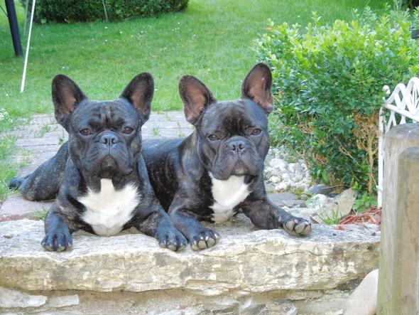 das sind unsere scheisser!!! - (Hund, Französische Bulldogge)
