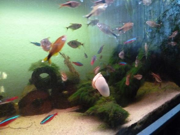 aquarium algen mit schnecken bek mpfen fische. Black Bedroom Furniture Sets. Home Design Ideas