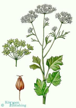 Anis - Pimpinella anisum - (Tee, anis, Sternanis)