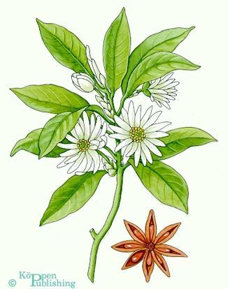 Sternanis - Illicium verum - (Tee, anis, Sternanis)