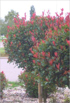 Bäumchen mit roten Blättern - (Garten, Stauden, Bäumchen)