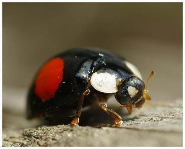Wie nennt man einen männlichen Marienkäfer?