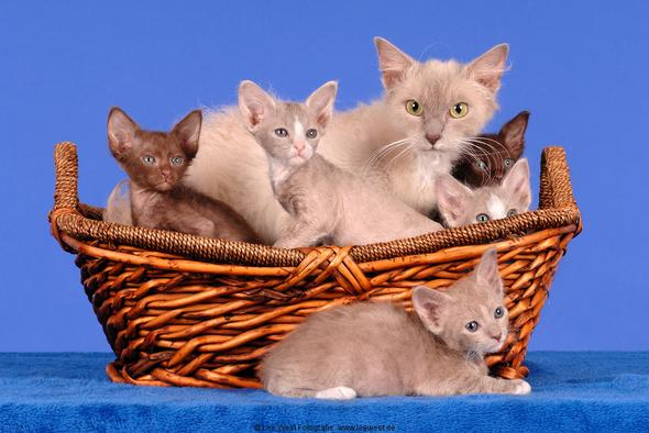 Mutter mit Kindern - (Haare, LaPerm Katze)
