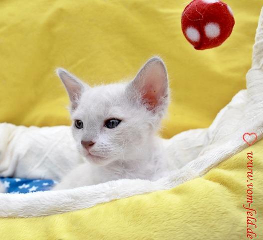 hier mal die Variante in ganz hell, so vielfältig ist die LaPerm - (Haare, LaPerm Katze)