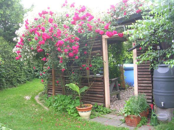 Rote unbekannte und Kiftsgate im Hintergrund - (Garten, Blumen, Rosen)
