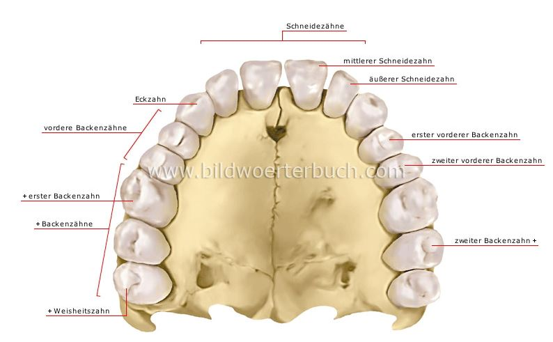 Wo genau sitzt der Zahn 24? (Zähne, Zahnarzt, Zahnmedizin)