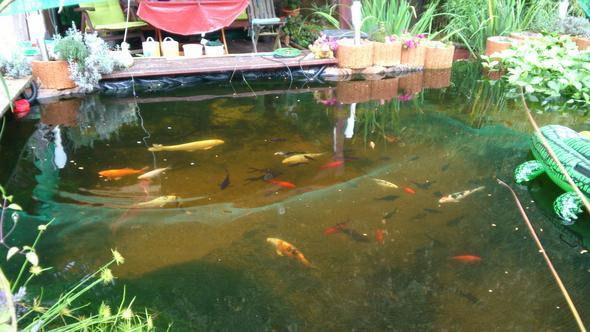 Goldfisch im teich entdeckt brauche dringend hilfe for Balkon teich fische