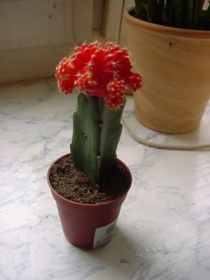 attraktiver Kaktus - (Geschenk, Weihnachten, Pflanzen)