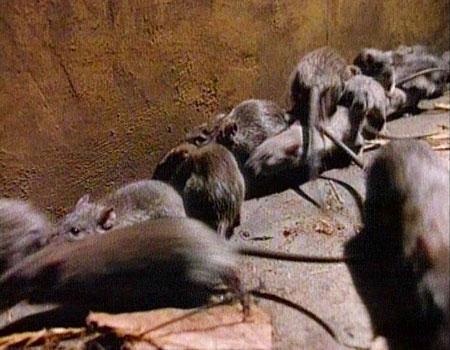 Ratte Im Treppenhaus Hausverwaltung Unternimmt Nichts Ratten