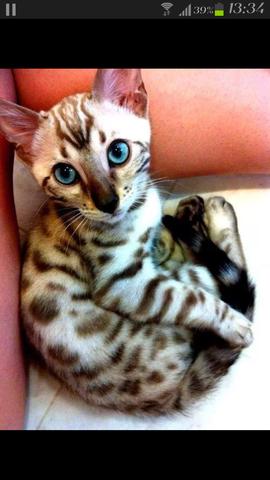 CHIARA, MEINE RUSSISCHE FUCHSKATZE - (Katzen, katzen-rassen)