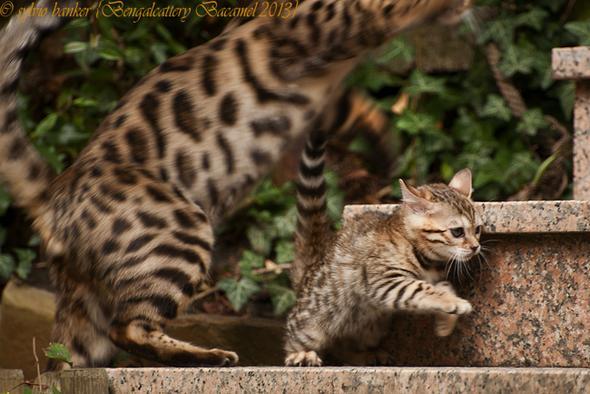Bengalkatze - (Katzen, katzen-rassen)