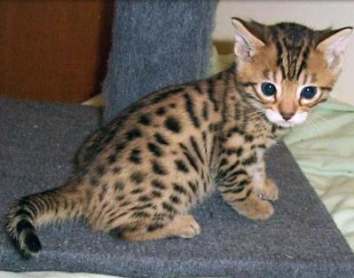 Bengalkatze junge - (Katzen, katzen-rassen)