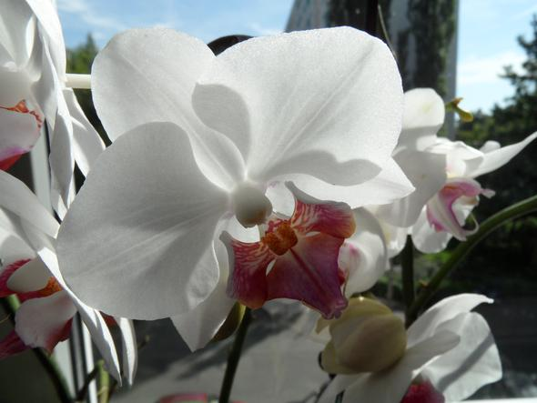 meine weiße/lila Orchidee - (Pflege, Pflanzen, Blumen)