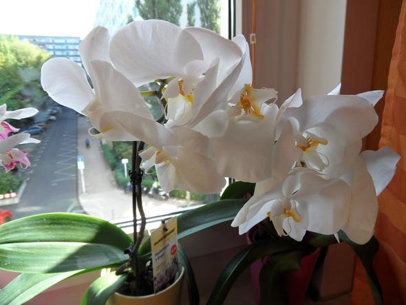 meine weiße Orchidee - (Pflege, Pflanzen, Blumen)