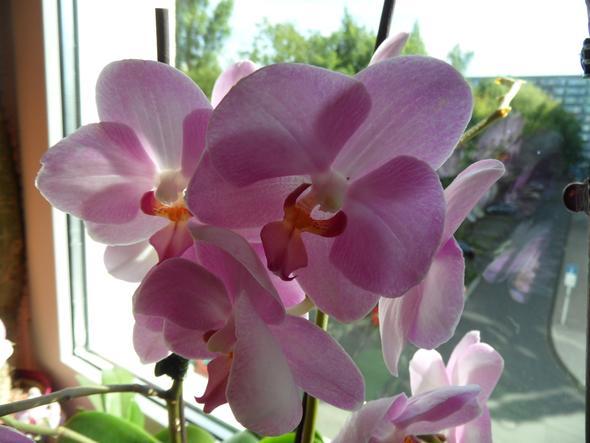 meine rosa Orchidee - (Pflege, Pflanzen, Blumen)