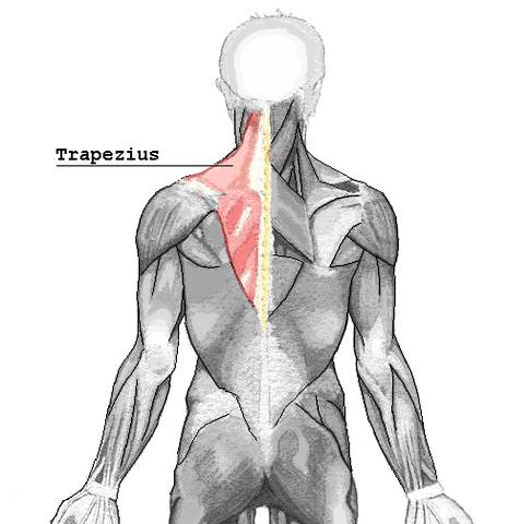 Deltamuskel bezeichnet alle Schultermuskeln (vordere, seitliche + ...