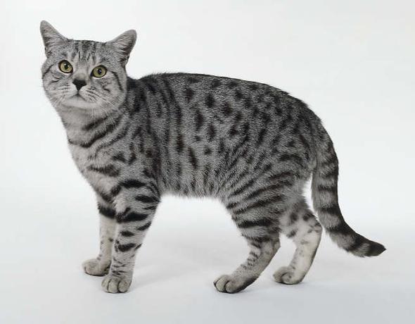 Light Grey With Black Spots Cat