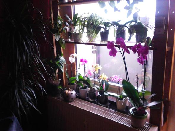 meine Orchideen - (Orchideen, Phalaenopsis, Orchideen Pflege)