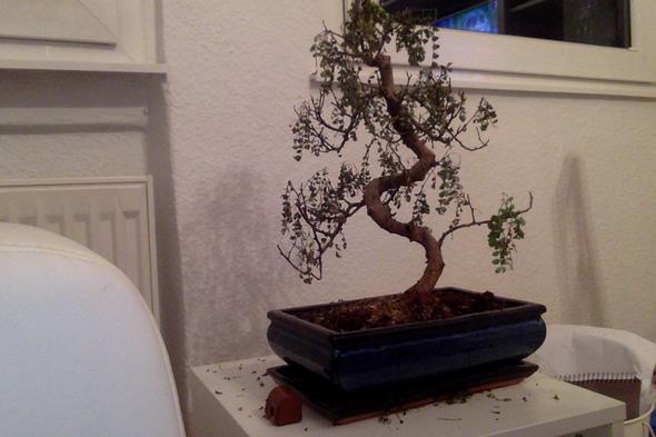 geliebten bonsai retten garten pflanzen natur. Black Bedroom Furniture Sets. Home Design Ideas